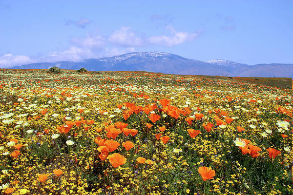 California Poppy Photograph - Poppies Over The Mountain by Peter Tellone