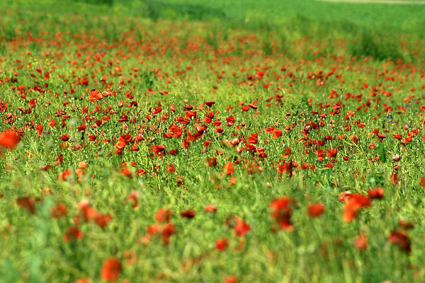 Photograph - Poppy Field I by Emanuel Tanjala