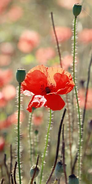 Wall Art - Photograph - Poppy Flower by Falko Follert