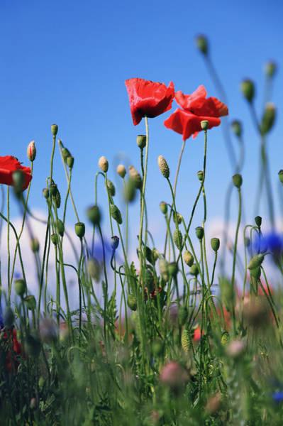 Wall Art - Photograph - Poppy Flower No10 by Falko Follert