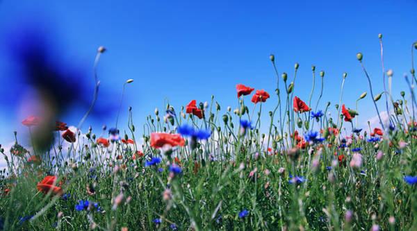 Wall Art - Photograph - Poppy Flower No11 by Falko Follert