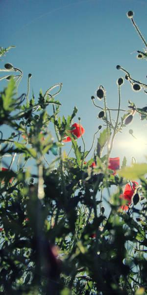 Wall Art - Photograph - Poppy Flower No14 by Falko Follert