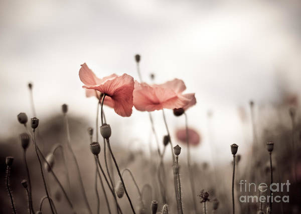 Botanical Gardens Photograph - Poppy Flowers 03 by Nailia Schwarz