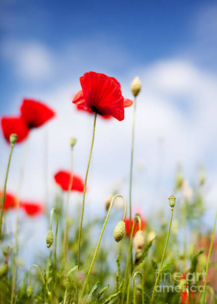 Botanical Gardens Photograph - Poppy Flowers 06 by Nailia Schwarz