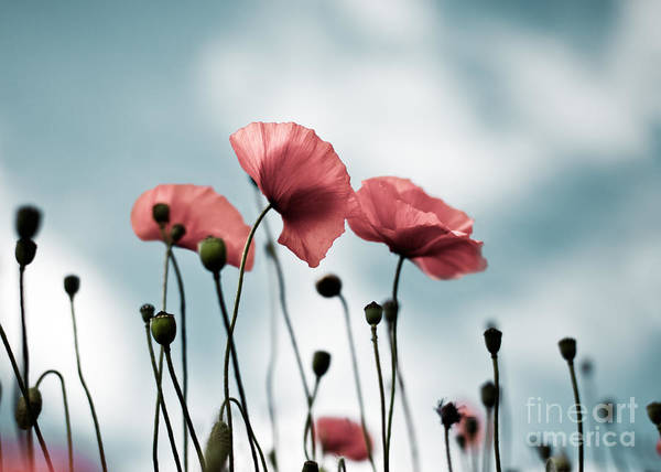 Wild Flower Photograph - Poppy Flowers 07 by Nailia Schwarz