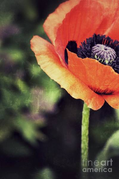 Photograph - Poppy For One by Traci Cottingham