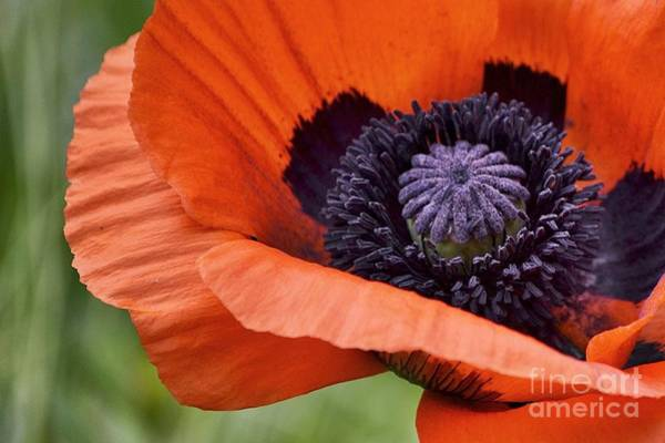 Photograph - Poppy For Peace by Traci Cottingham