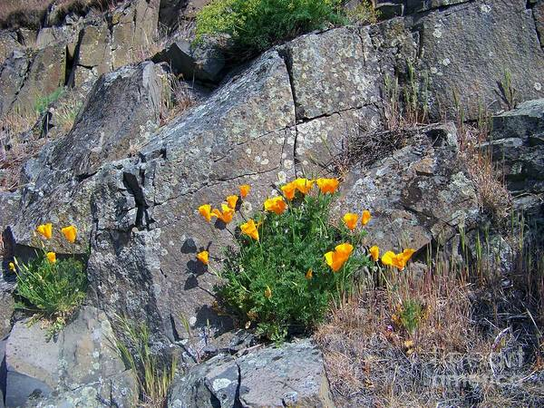Photograph - Poppy On The Rocks by Charles Robinson