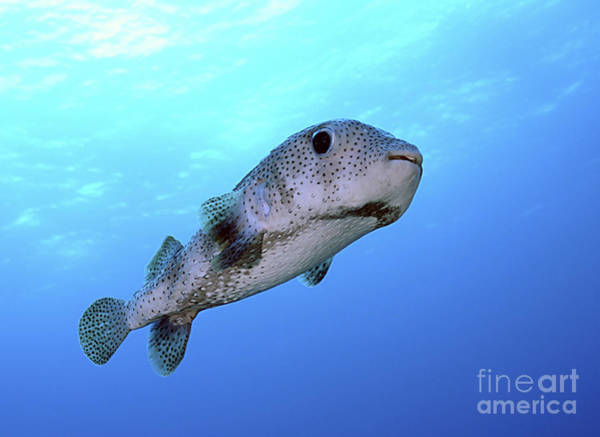 Balloonfish Photograph - Porcupine Fish In Swimming by Karen Doody