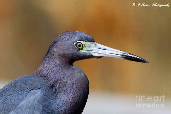 Photograph - Portait Of A Little Blue Heron by Barbara Bowen