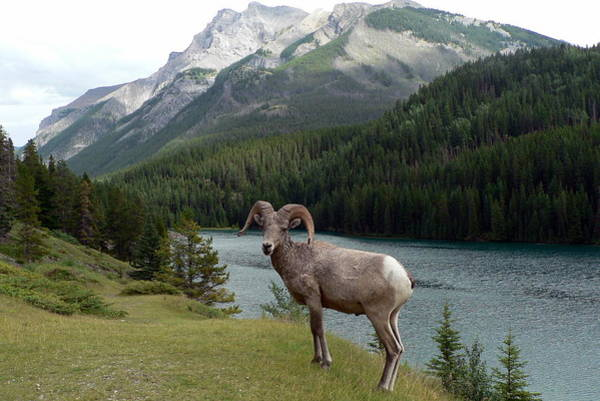 Portrait Of A Bighorn Sheep At Lake Minnewanka  Art Print