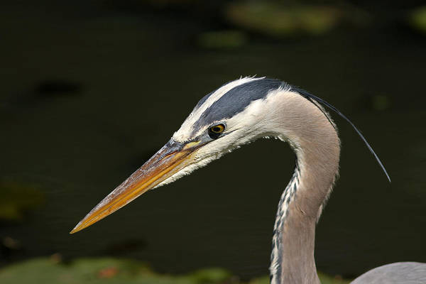 Photograph - Portrait Of A Great Blue Heron  by Juergen Roth