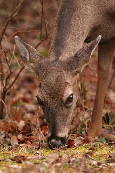 Portrait Of  Browsing Deer Two Art Print