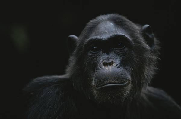 Gombe National Park Wall Art - Photograph - Portrait Of The Chimpanzee Fifi by Michael Nichols