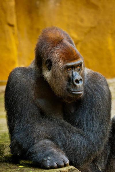 Photograph - Posing Gorilla by Keith Allen