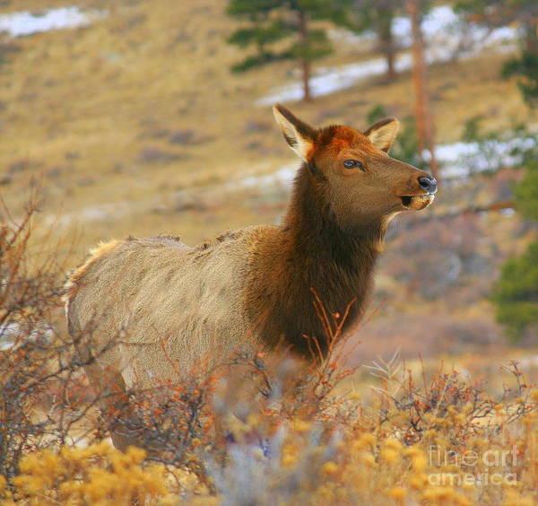 Elk Herd Photograph - Posing by Julie Lueders