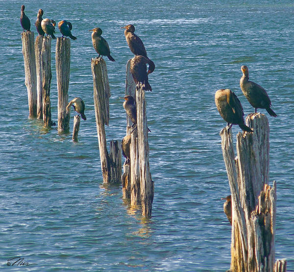 Photograph - Postal Cormorants In Maine by Nancy Griswold