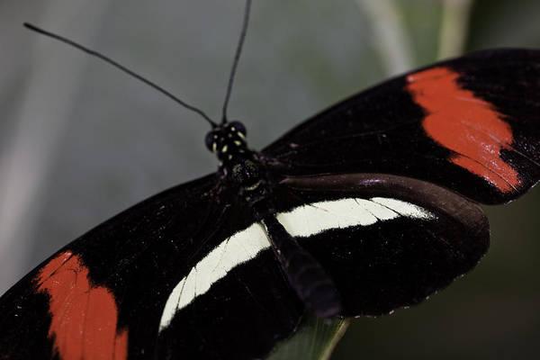 Photograph - Postman Butterfly by Perla Copernik