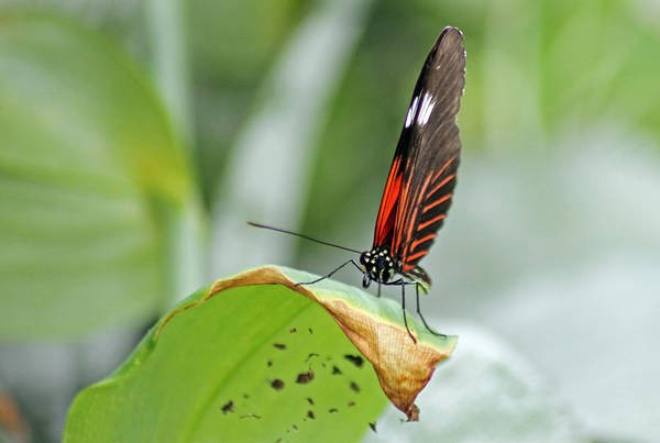 Photograph - Postman Butterfly by Tony Murtagh