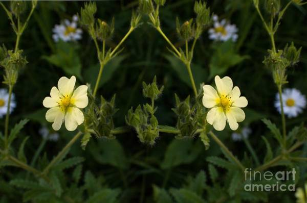 Wall Art - Photograph - Potentilla by The Stone Age
