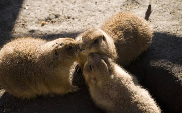 Photograph - Prairie Dog Gossip Session by Trish Tritz