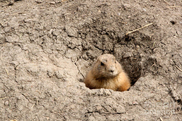 Photograph - Prairie Dog by Mary Mikawoz