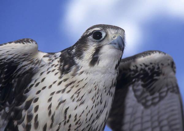 Prairie Falcon In Flight Art Print