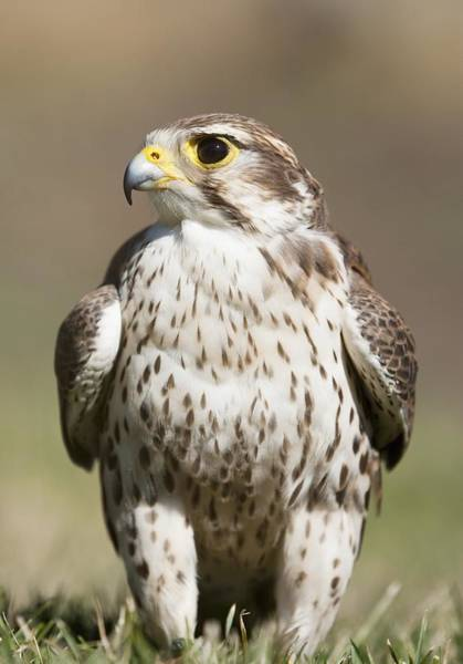 Prairie Falcon Perches On The Ground Art Print