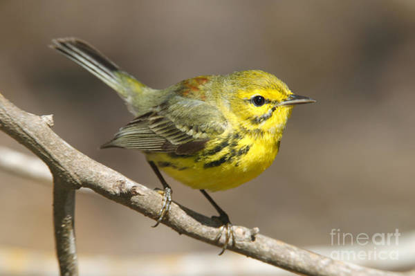 Photograph - Prairie Warbler by Clarence Holmes