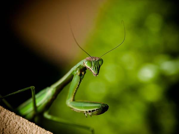 Photograph - Praying Mantis by Jim DeLillo
