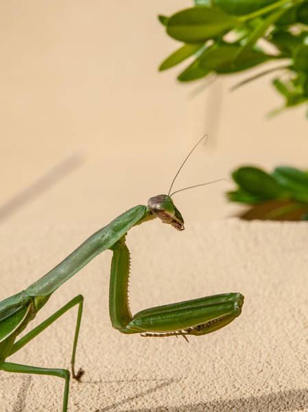 Photograph - Praying Mantis Too by Jim DeLillo