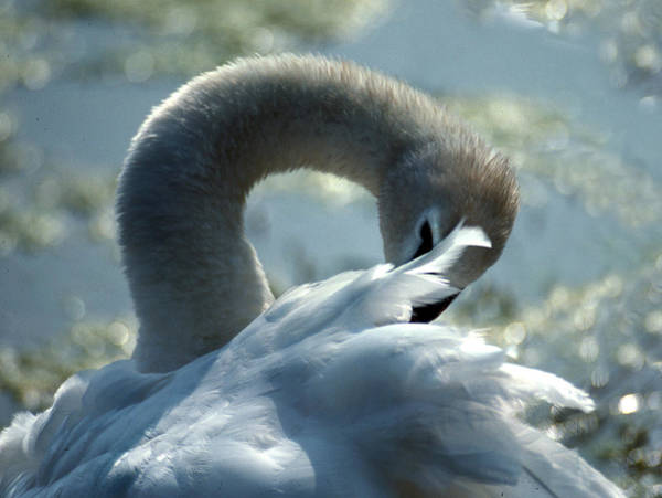 Tundra Swan Photograph - Preening Swan by Skip Willits