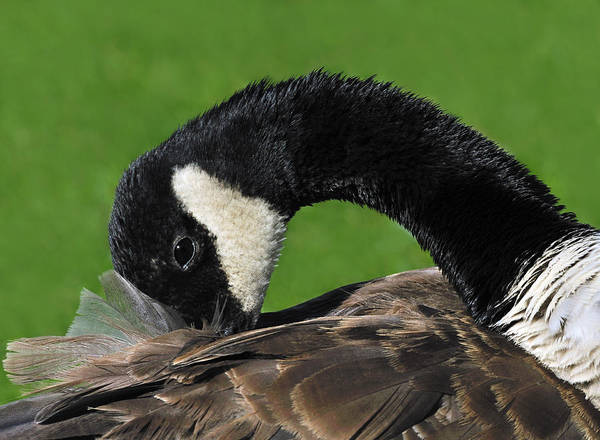 Gander Photograph - Preening by Tony Beck