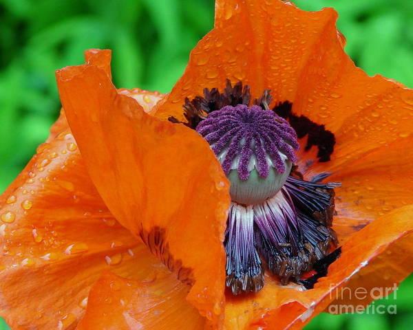 Purple Carrot Photograph - Pretentious by Priscilla Richardson