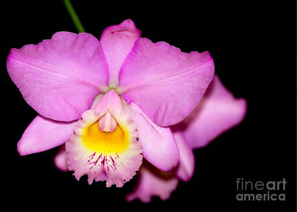 Photograph - Pretty In Pink Orchid by Sabrina L Ryan