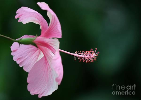 Photograph - Pretty Pink Hibiscus by Sabrina L Ryan