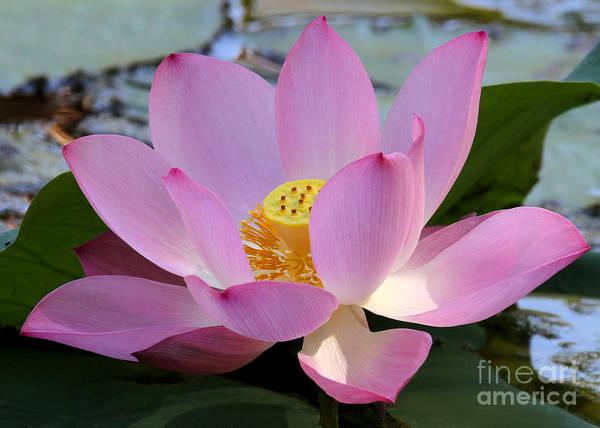 Photograph - Pretty Pink Lotus by Sabrina L Ryan