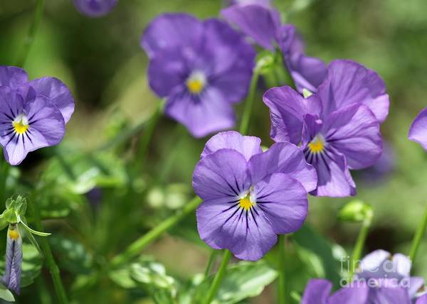 Photograph - Pretty Purple Pansies by Sabrina L Ryan