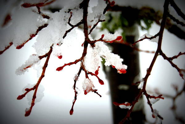 Photograph - Pretty Snow Buds by Rachael Shaw