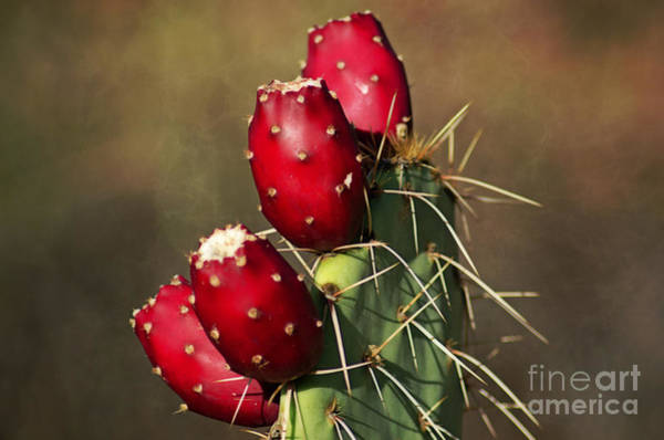 Photograph - Prickley Pear Fruit by Donna Greene