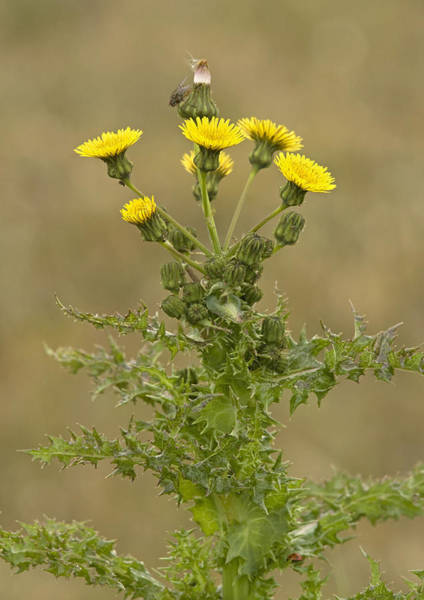 Asps Photograph - Prickly Sow-thistle (sonchus Asper) by Bob Gibbons