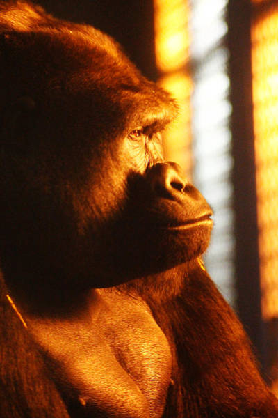 Photograph - Primate Reflecting by Scott Hovind