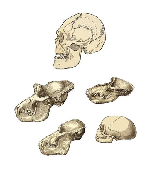 Comparative Anatomy Wall Art - Photograph - Primate Skulls, 19th Century Artwork by Sheila Terry