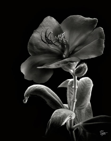 Photograph - Princess Flower In Black And White by Endre Balogh