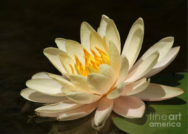 Photograph - Pristine Water Lily by Sabrina L Ryan