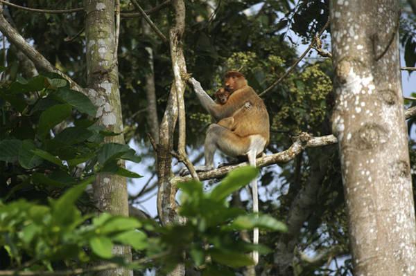 Nasalis Photograph - Proboscis Monkey Female And Baby by Tim Laman