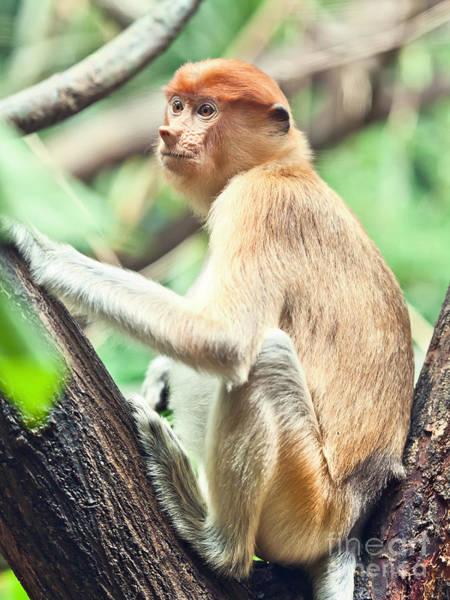 Nasalis Photograph - Proboscis Monkey by MotHaiBaPhoto Prints