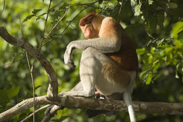 Nasalis Photograph - Proboscis Monkey Nasalis Larvatus Male by Tim Laman