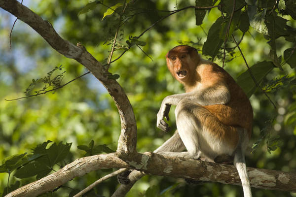 Nasalis Photograph - Proboscis Monkey Nasalis Larvatus by Tim Laman