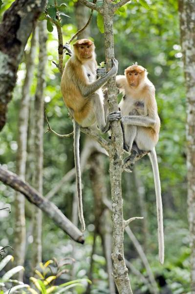 Nasalis Photograph - Proboscis Monkeys by Tony Camacho